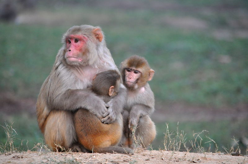 Close-up of monkey sitting with its babies