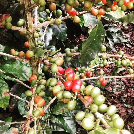 Nature Growth Outdoors Freshness Coffee Panamá chiriqui Boquete Fruit Food And Drink Food Leaf Tree Green Color No People Day Close-up Healthy Eating First Eyeem Photo