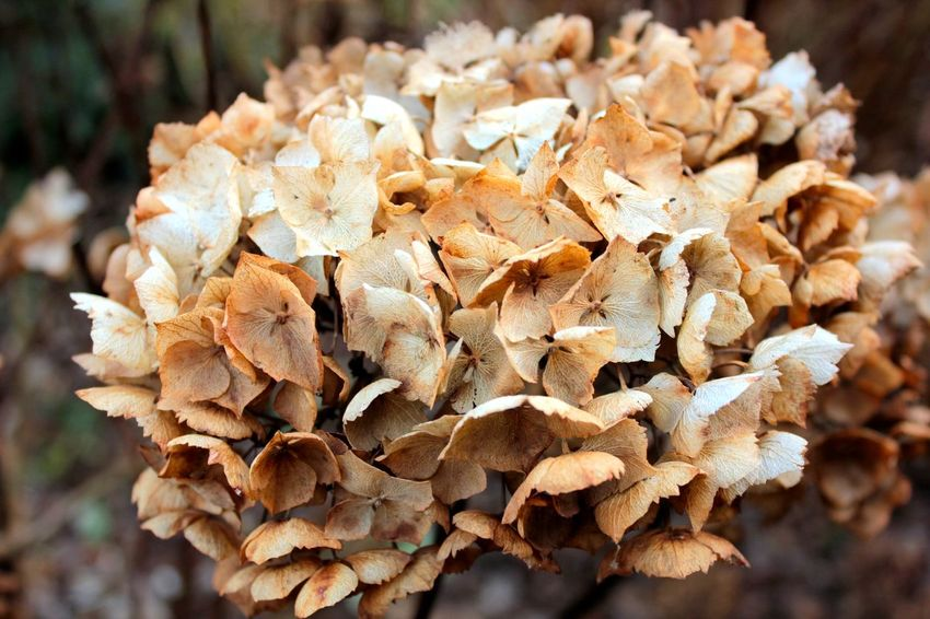 dead hydrangea Hydrangea Beauty In Nature Close-up Day Dry Flower Head Focus On Foreground Fragility Freshness Nature No People Outdoors Plant