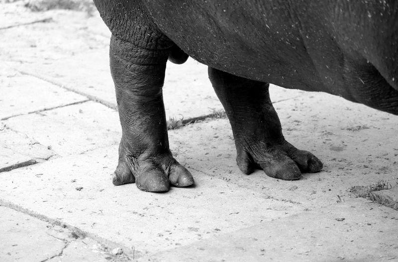 Hippopotamus Feet Animal Photography Animal Themes Animal_collection Animals Black & White Close-up Black And White Blackandwhite From My Point Of View Blackandwhite Photography Bnw Eye4photography  EyeEm Best Shots EyeEmBestPics Hippo Minimal Minimalism Minimalobsession EyeEm Gallery Taking Photos at Jardim Zoológico De Lisboa Portugal