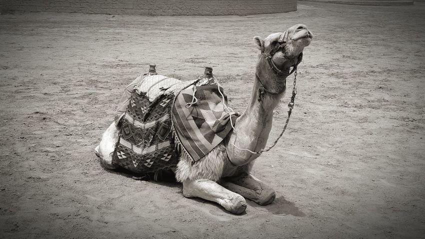 the camel Camel Desert Saddle