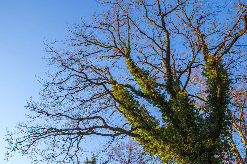 great trees and blue sky Tree Plant Low Angle View Sky Branch Bare Tree Nature No People Day Tranquility Beauty In Nature Growth Outdoors Tree Trunk Trunk Scenics - Nature Tranquil Scene Tree Canopy  Clear Sky Blue Sunlight