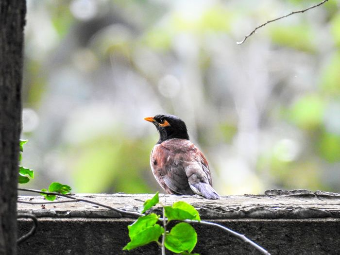 A Mynah perched on a wall Animals In The Wild Beauty In Nature Bird Close-up Day Focus On Foreground Nature No People One Animal Outdoors Perching Tree