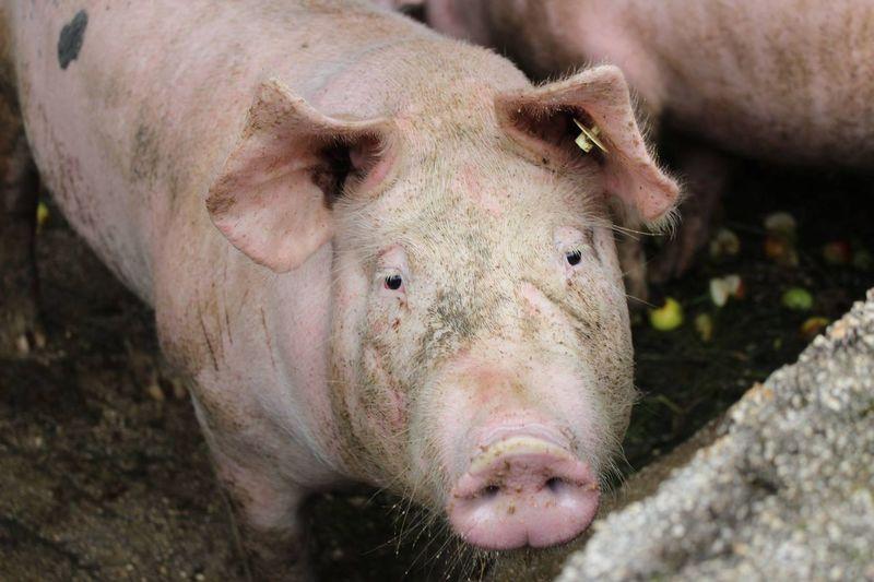 Portrait of pig
