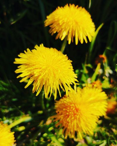 Flower Head Flower Yellow Petal Springtime Stamen Close-up Plant Dandelion Seed Pollen Wildflower In Bloom Plant Life Blossom Dandelion Uncultivated Blooming