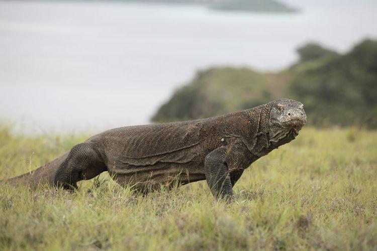Komodo dragon on grassy field