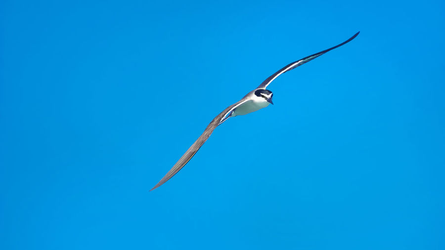 Low Angle View Of Tern Flying Against Clear Blue Sky On Sunny Day