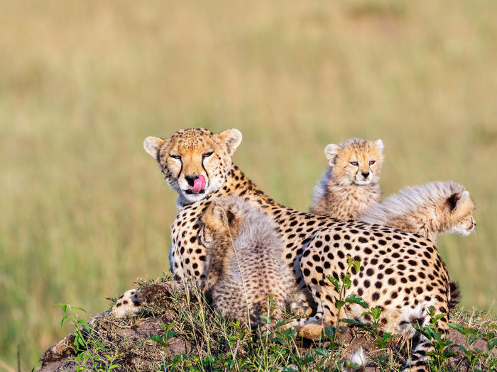 Cheetah mother with cubs licking her lips