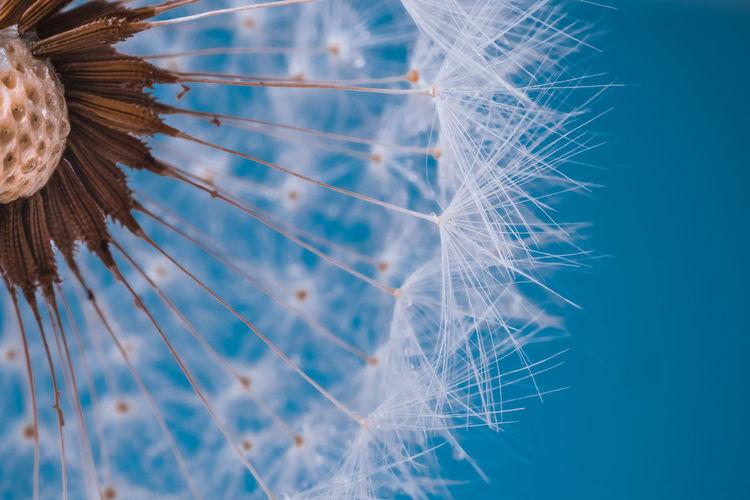 Dandelion in