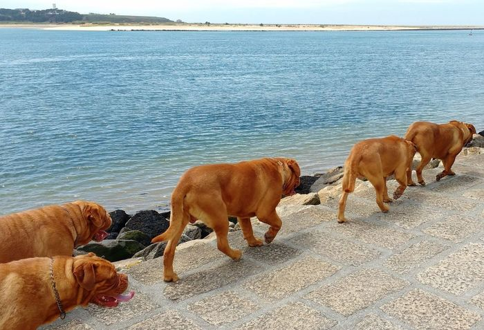 Brown Day Dog Domestic Animals Five Animals Mammal Outdoors Pets River Sea Shar Pei Walking Water Waterfront