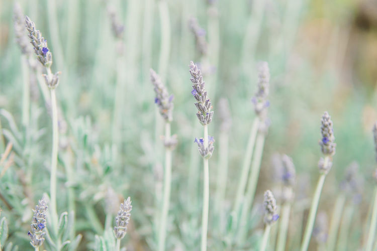 Close-Up Of Lavender Flowers