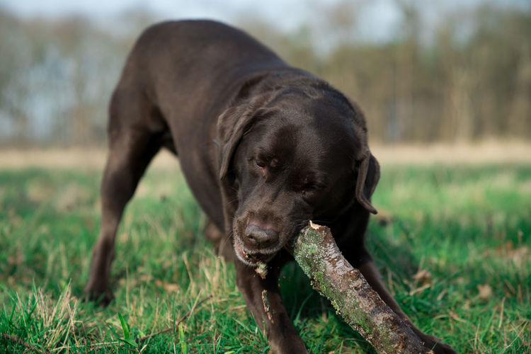 dog chewing on a stick Animal Themes Brown Labrador  Chewing Cute Day Dog Grass Grass Labrador Mammal Nature Nature One Animal Outdoors Pets Stick