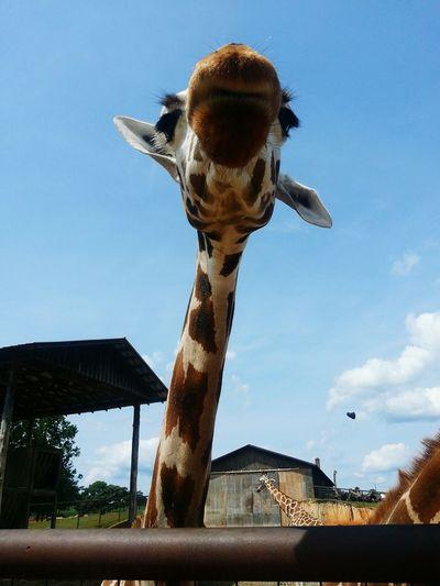 Giraffe Taking Photos My Camera Cheese! Enjoying Life Hanging Out DOPE Animals Nature Fun