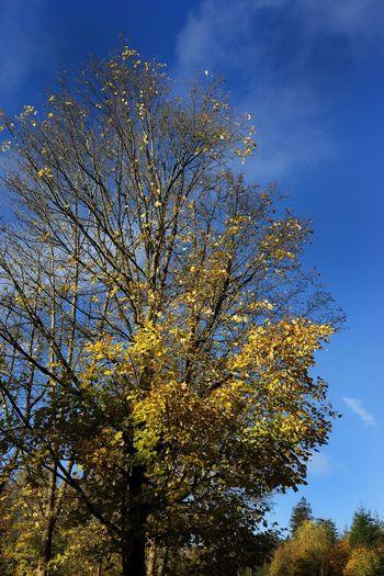 Tree Leaf Baumkrone Herbstfarben Herbstlich Himmel Und Wolken Waldweg Ruhe Und Stille Laubbaum