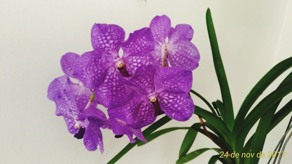 Orquideas❤ Vanda Flower Purple Petal Flower Head Nature Beauty In Nature Plant Fragility Close-up Iris - Plant Growth No People Freshness Day Outdoors