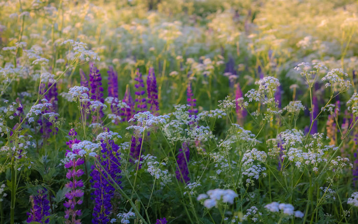 Wildflowers at sunset Clover Golden Green Color Natural Summertime Wildflowers In Bloom Abstract Backgrounds Beauty In Nature Blossom Close-up Clouds Countryside Flowers Macro Meadow Nature No People Outdoors Plant Purple Sky Springtime White Color