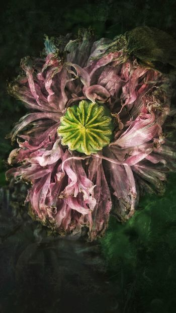 Close-up Dying Flowers Dead Wilted Flower Decay Fading Grunge Art Nature's Diversities Nature On Your Doorstep Floral Green Garden Photography Garden Flowers,Plants & Garden Flower Pink Poppy Flower Poppy Flowers Magenta Grandmas Garden Poppy PoppySeed Death And Decay EyeEm Best Edits