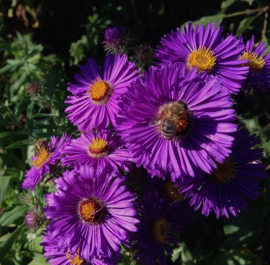 Beauty In Nature Purple Autimn last flower Blossom Flower Head