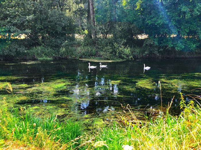 Three beautiful swans swimming down the river on a summers day. Swimming Swans Swans Swimming Swans Swan Plant Water Animal Animal Themes Animal Wildlife Nature Bird Animals In The Wild Group Of Animals Day Beauty In Nature No People Outdoors Grass Green Color Tree
