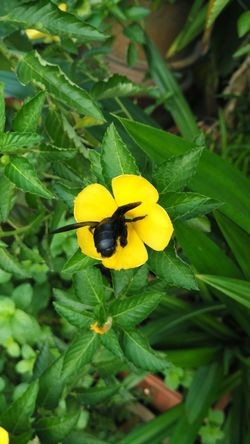 Bee Bees Flower Flowers Yellow Colour Of Life Color Of Life Yellow Flower Yellow Flowers Black Bee Big Bee Bee 🐝 Flower Collection Flowers,Plants & Garden Polination