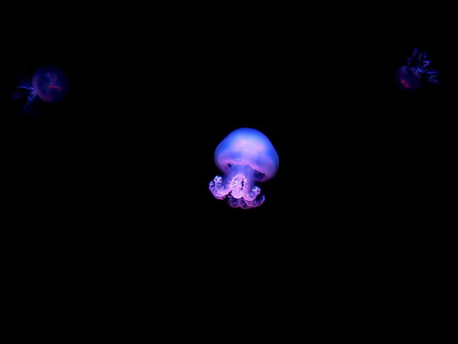 Canary Islands Beauty In Nature Black Background Blue Close-up Copy Space Cut Out Dark Glowing Illuminated Indoors  Invertebrate Jellyfish Light Marine Nature Night No People Purple Studio Shot Tenerife Tenerife Island Water
