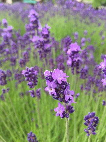 Nature_collection Lavender Lavenderflower Hokkaido,Japan Travel