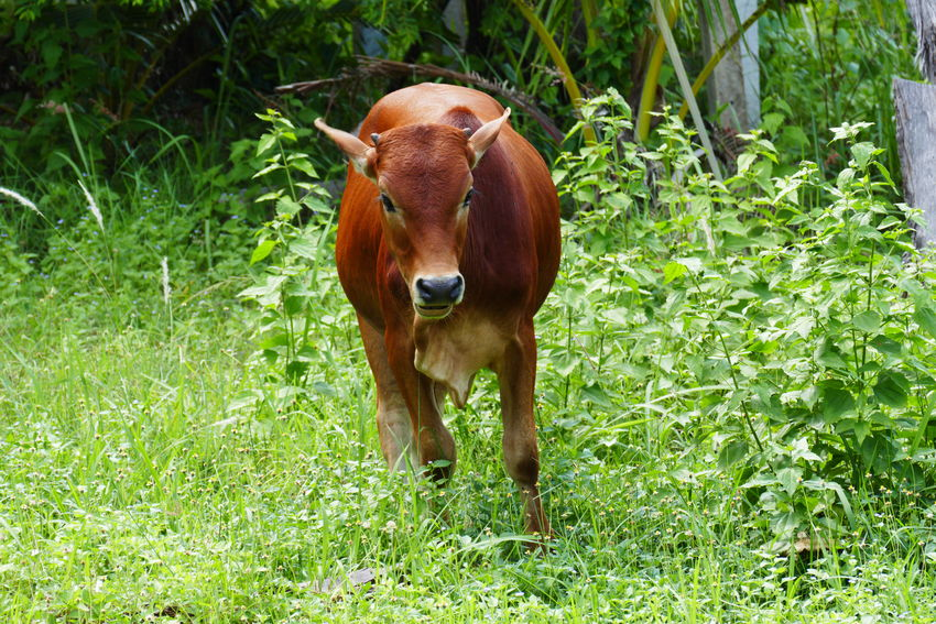 Zebu in Thailand Mammal Animal Plant Vertebrate Domestic Livestock Animal Themes Domestic Animals Land Field Grass Day Nature Herbivorous Outdoors No People Cattle Zebu Cattle Thailand Animals In Thailand Grazing Cattle Zebu In Thailand Zebu