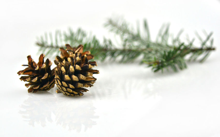 Close-up of pine cone in winter