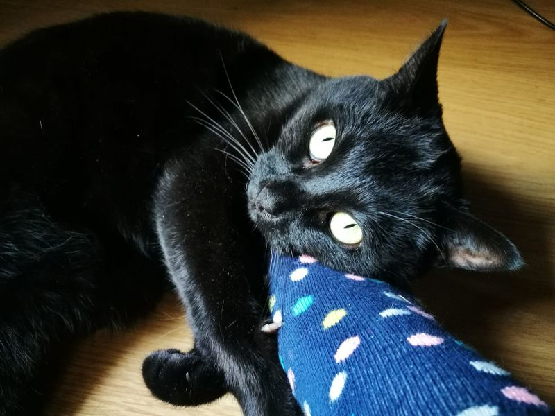Domestic Cat Pets Domestic Animals Animal Themes Black Color Mammal Feline Whisker One Animal No People Looking At Camera Day Yellow Eyes Portrait Close-up Cats 🐱 Indoors  Cats Lovers  Cats Of EyeEm Black Cat Photography Cats Lovers  Black Cat Collection Black Cat