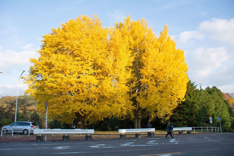 Yellow trees against sky during autumn