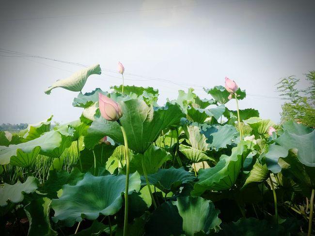 夏日荷塘 Flower Leaf Sunlight Summer Sky Close-up Plant