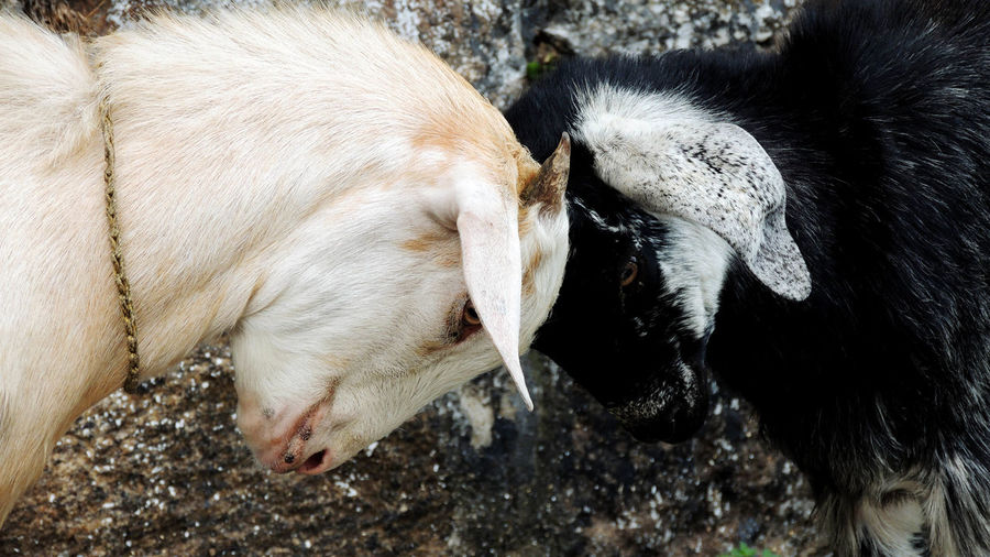 Close-up of two goats butting heads