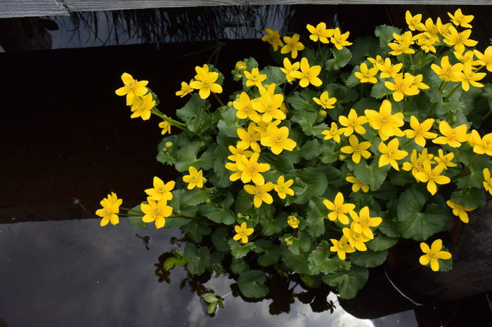 Yellow marsh marigold Japan Beauty In Nature Blooming Close-up Flower Flower Head Marsh Marigold Nature No People Outdoors Plant Plateau Water Wetlands Yellow