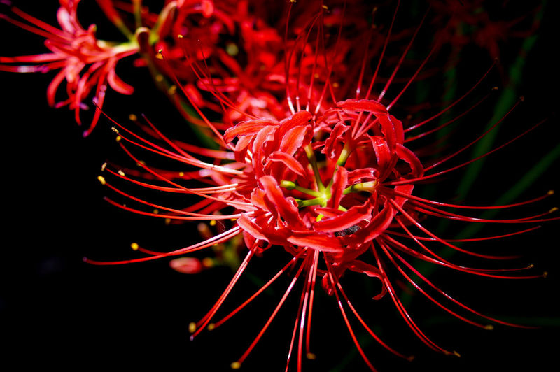 Close-up of red flowers blooming at night