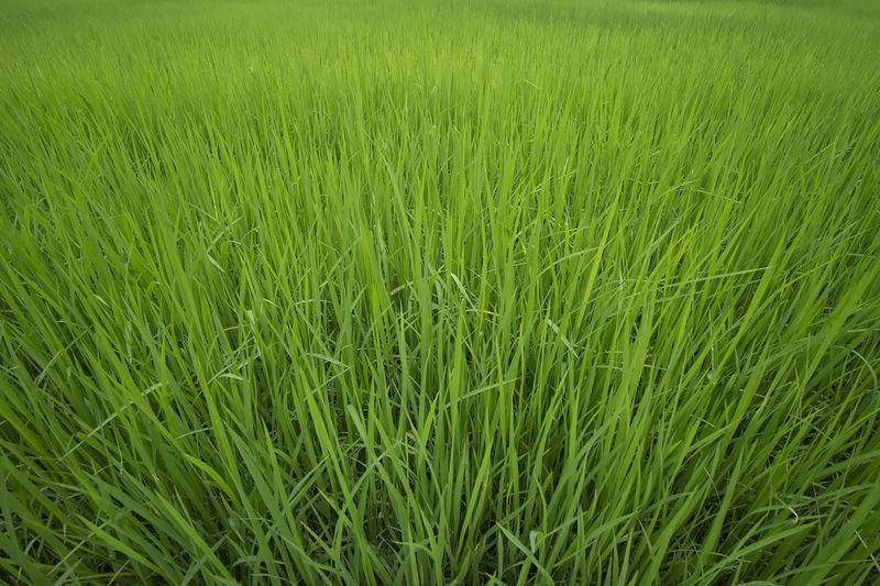 Green field Green Color Growth Field Nature Backgrounds Grass Beauty In Nature No People Tranquility Scenics Agriculture Outdoors Rice Paddy Day Close-up Freshness Calm Village