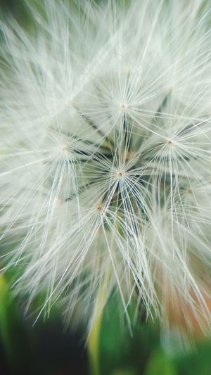 closeup Backgrounds Close-up Dandelion Seed Dandelion Wildflower Single Flower Plant Life Seed Fragility