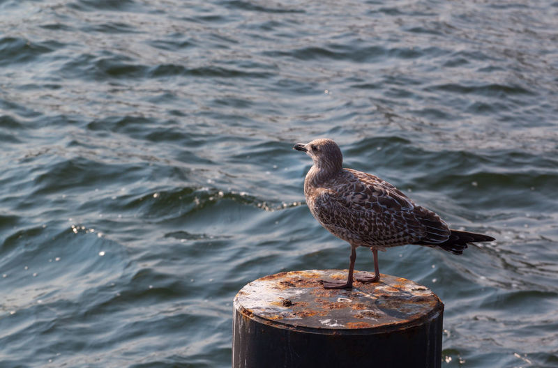 Seagull perching on metal over sea