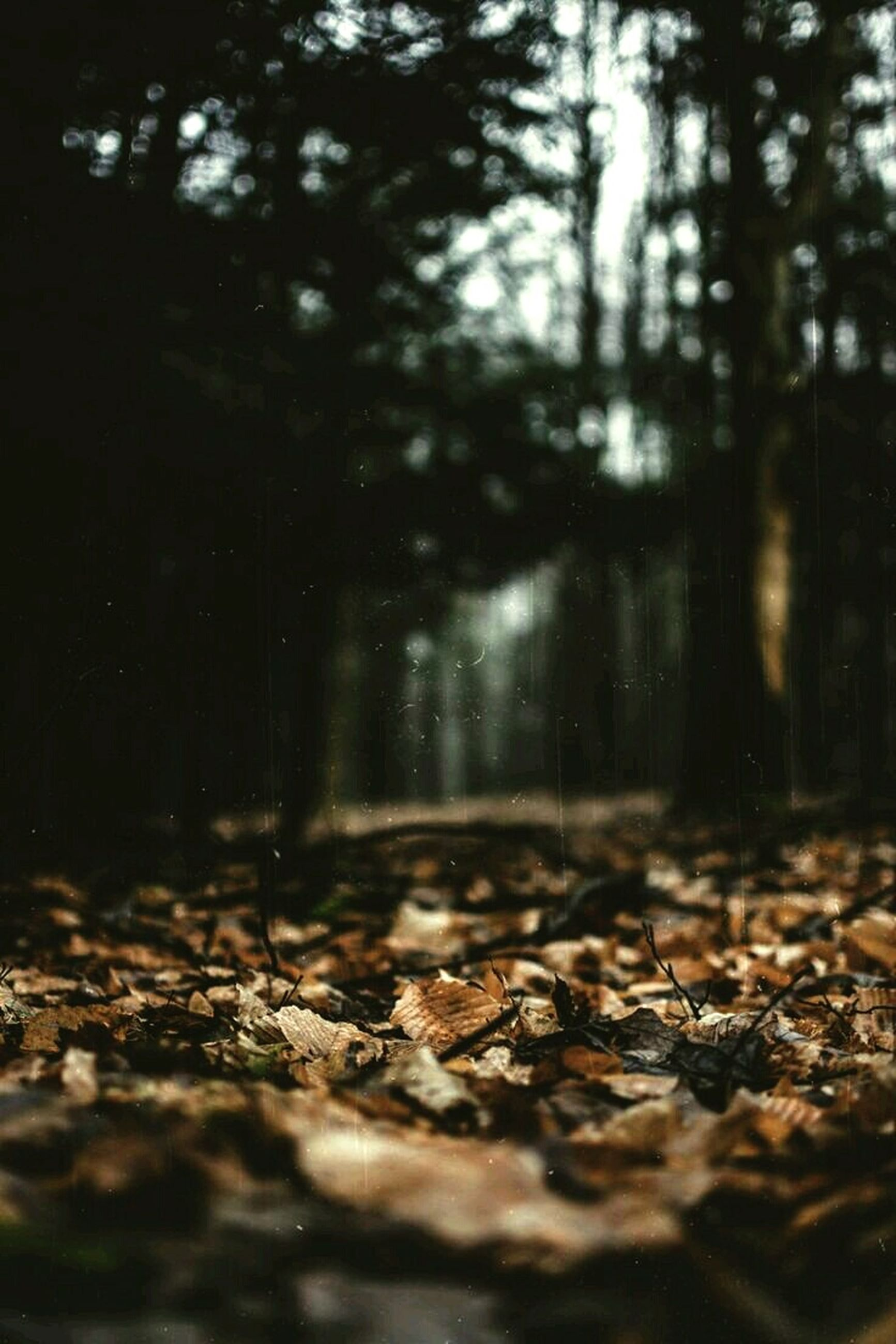 surface level, leaf, autumn, selective focus, fallen, leaves, tree, season, dry, nature, falling, the way forward, change, forest, tranquility, no people, outdoors, day, wet, beauty in nature