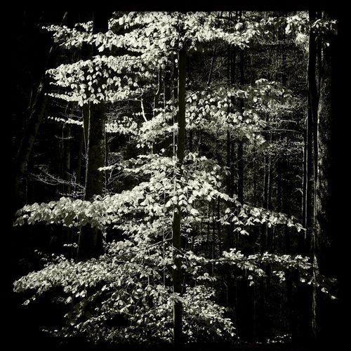 Tree in Forrest Trees Forrest Black And White Blackandwhite Leaves Schwarz & Weiß Wald Blätter Gegenlicht Bäume