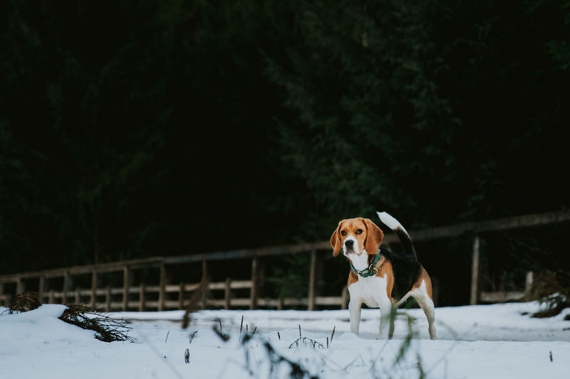 snow dog Animal Themes Beagle Beauty In Nature Beauty In Nature Cold Temperature Day Dog Domestic Animals Mammal Nature No People One Animal Outdoors Pets Snow Standing Tree White Winter