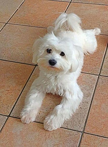 Dog Domestic Animals Maltese Pets Maltese Dog Terier