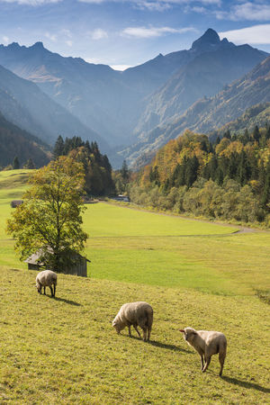 Flock of sheep in front of mountains in Bavaria Germany Allgäu Bavaria Animal Themes Beauty In Nature Domestic Animals Field Flock Of Sheep Germany Grass Green Color Landscape Mammal Mountain Mountain Range Mountains Nature No People Oberstdorf Outdoors Scenics Sheep Sky Tranquil Scene Tranquility Tree