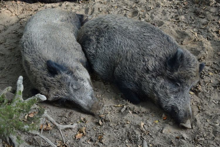 Two wild boars sleeping in the forest