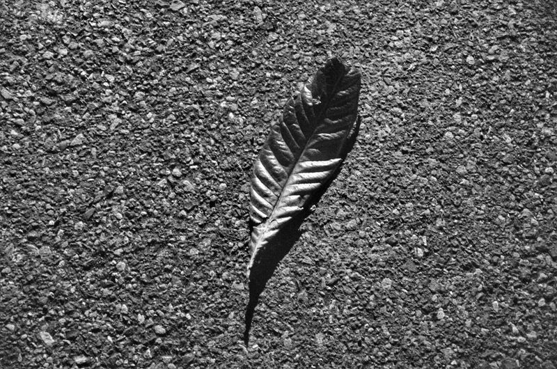 Japan Black And White Close-up Leaf B&W Magic