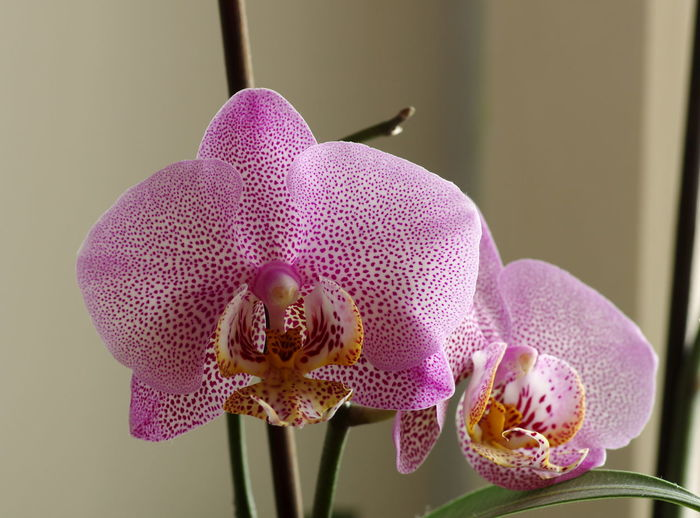 Orchid - Storczyk Close-up Day Flower Flower Head Fragility Freshness Indoors  Nature No People Orchid Petal Pink Color Plant Purple