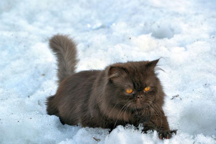 Persian cat relaxing on snowy field