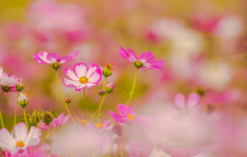 Close-up of pink cosmos flowers growing on field