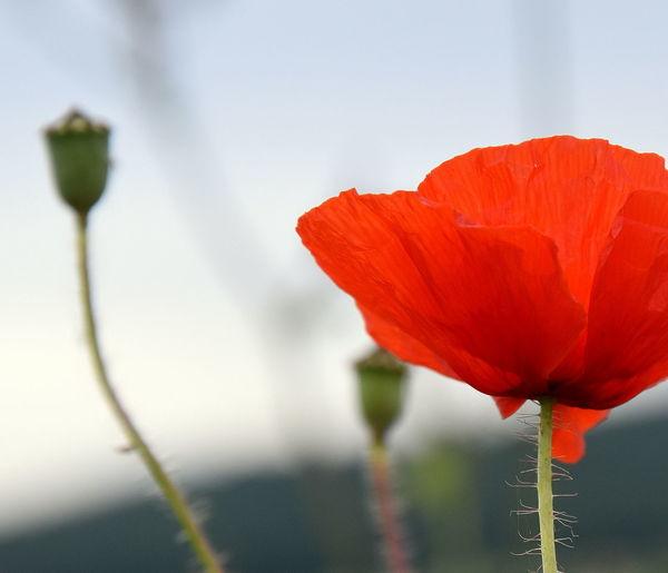 Delicate poppy Buds Nature Delicate Beauty Flower Petals Poppy Red, Flower,macro Wild Flower