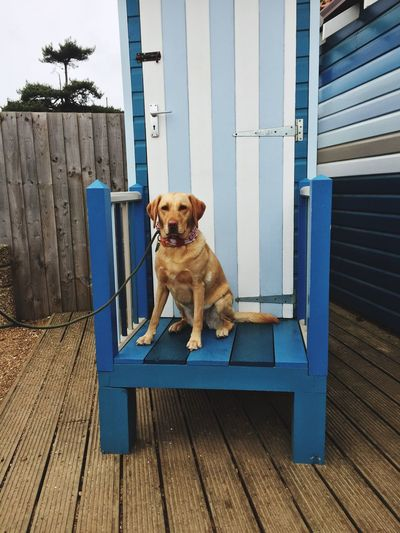 EyeEm Selects Domestic Animals Labrador Wells Next The Sea