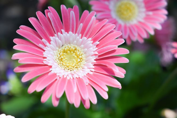 Close-up of pink daisy